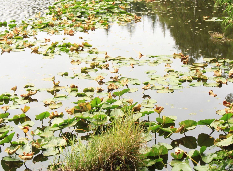 Seerosen an einem wunderschönen Teich auf Pender Island