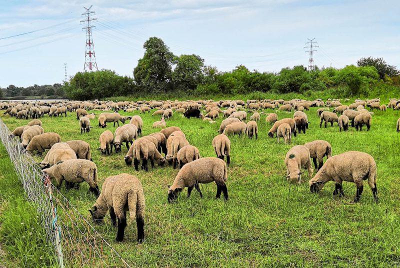 Am Elbdeich lässt es sich herrlich radeln - Schafe sind häufig anzutreffen