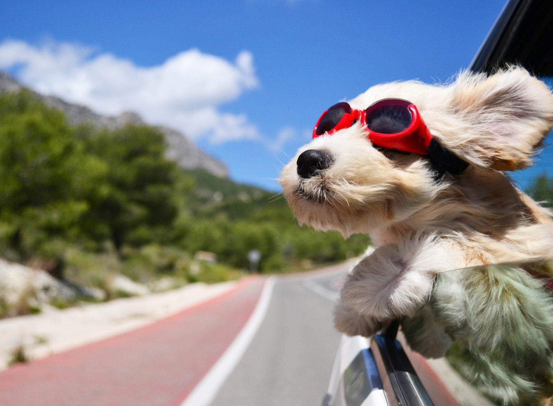 Auch, wenn es cool aussieht – so solltet ihr euren Hund natürlich nicht im Auto transportieren. Bild: Adobe Stock/Natallia Vintsik